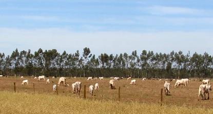 rebanho-bovino-ms-dourados